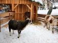 Wr. Neustäderstrasse - Bernds Platzl - lebendige Krippe mit Esel, Schaf und Kuh