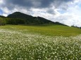 narzissen-mariazellerland-panorama