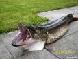 Prachtexemplar eines Erlaufsee Hechts. 120cm lang, 13.5 kg schwer.