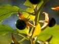 Giftige Tollkirsche - Herbstwanderung Köckensattel-Fahrnboden-Ochsenboden