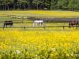 blumenwiese-pferde-gruenau-6205