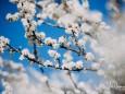 Schlehenblüte-mariazell-22042020-29121
