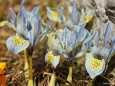Krokusse in Mariazell am 17.3.2012
