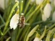 Schneeglöckchen mit Biene in Mariazell am 17.3.2012