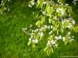 Kirschblüte im Mariazellerland
