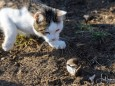 Maus stolpert auf der Flucht - Katz und Mausspiel auf der Stehralm