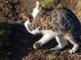 Katze glaubt die Täuschung der Maus nicht - Katz und Mausspiel auf der Stehralm