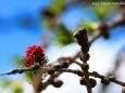 Lärchenblüte - Foto: Maria Habertheuer