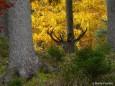 Hirsch im Wald - Foto: Martin Prumetz