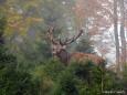 Hirsch im Nebel - Foto: Martin Prumetz