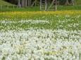 Narzissenblüte im Mariazellerland 2012