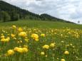 Trollblumen im Mariazellerland 2012