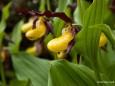 Frauenschuh im Mariazellerland. Wer genau schaut erkennt in der Blüte ein comicartiges Gesicht von der Seite, mit weißem Auge, Pupille, Ohren und einem Sapper-Tropfen ;-)