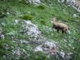 Gamsrudel quert vor den Rotmäuer - Brunnsee auf die Riegerin - Bergtour - 3.Juli 2014