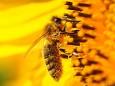 Romana Reithner - Biene auf Sonnenblume