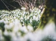 Schneeglöckchen am 10. März 2020