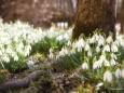 Schneeglöcken - Frühlingsknotenblumen