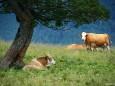 In Afrika sind es Löwen, bei uns Kühe die Schatten suchen unterm Baum / Lahnsattel - Wildalm Hütte - Wildalpe - retour
