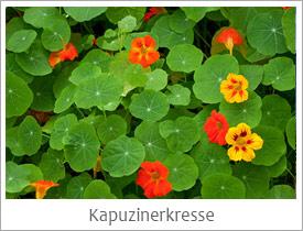 Kapuzinerkresse_Kobra78_Fotolia_27647046_S