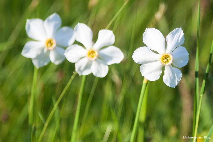Narzissenblüte im Mariazellerland