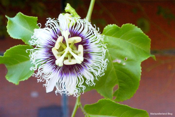 Die harmonische Passionsblume ist gut bei schlechtem Schlaf durch Nervenschwäche.