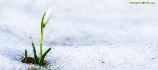Schneeglöckchen im Mariazellerland