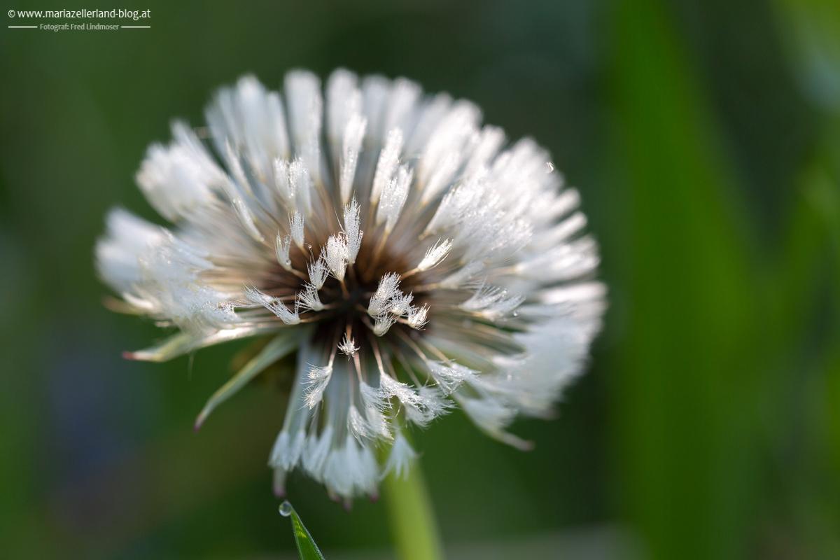 Blumen-Mai-2014-Loewenzahn-IMG_6275_