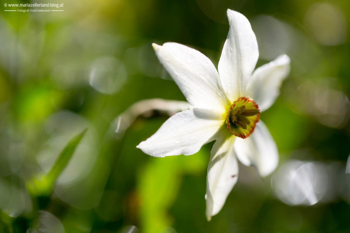 Blumen-Mai-2014-Narzissen-IMG_6267_