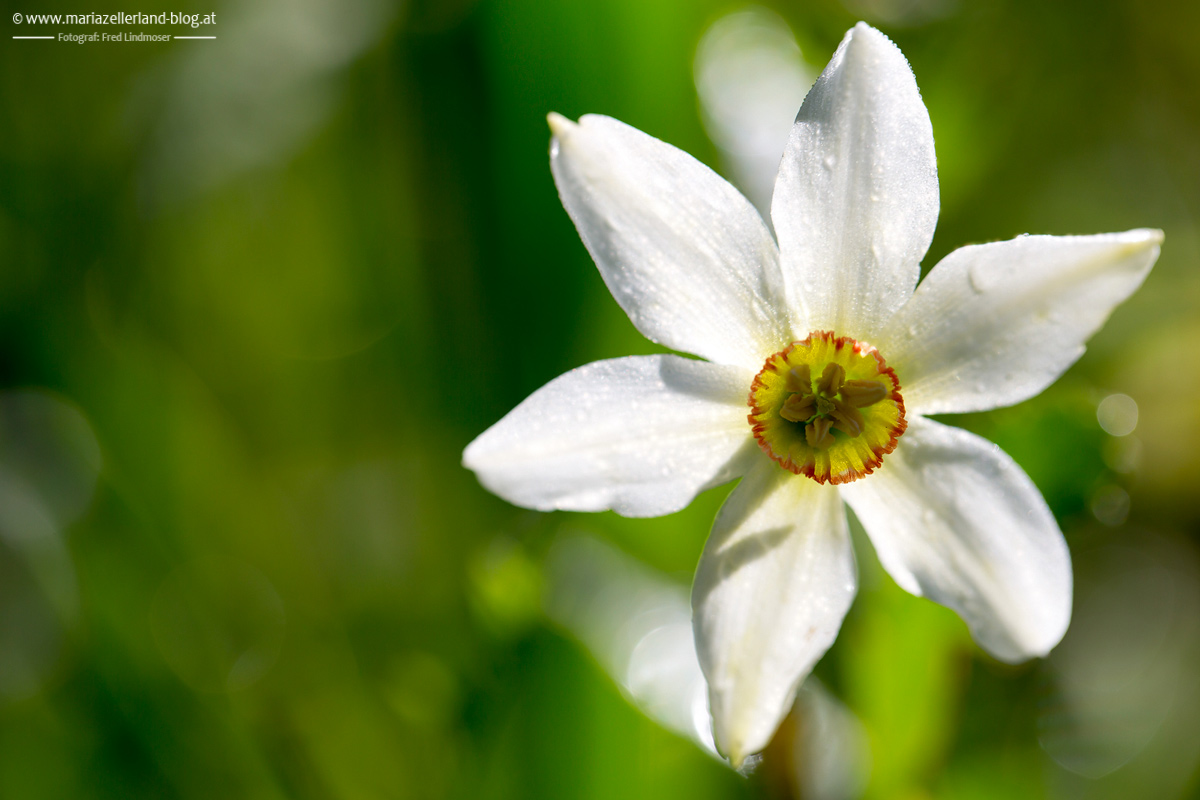 Blumen-Mai-2014-Narzissen-IMG_6270_
