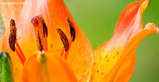 Feuerlilie_8541_