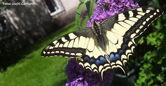 Schwalbenschwanz-Schmetterling-Uschi-Gerhardt_20140818_Titel