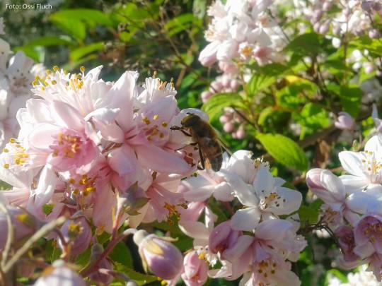 Sommerblüte-Fluch-Ossi_2014-06-22-18.33