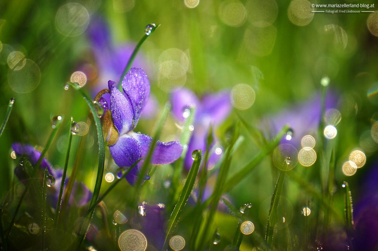 Wiesenblumen im Morgentau