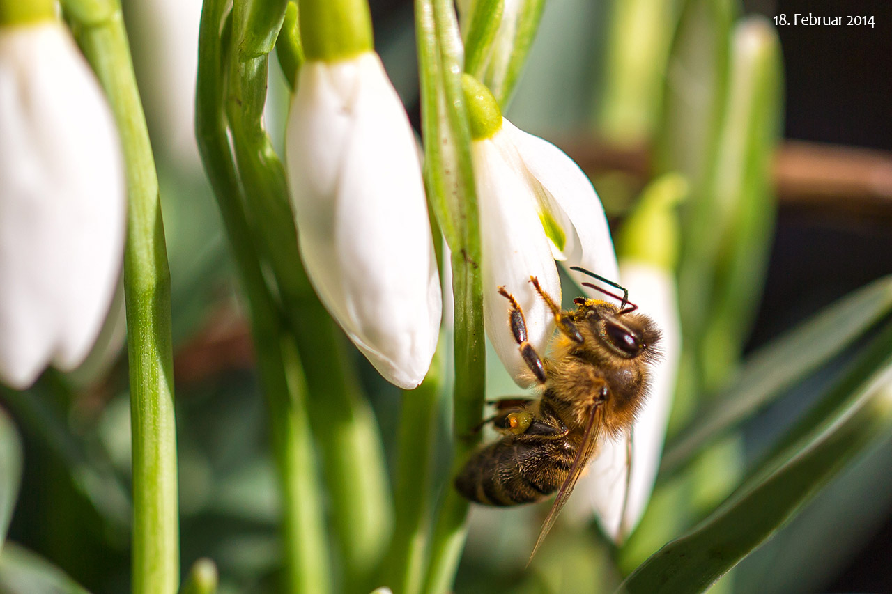 Schneeglöckchen-Biene_IMG_6597