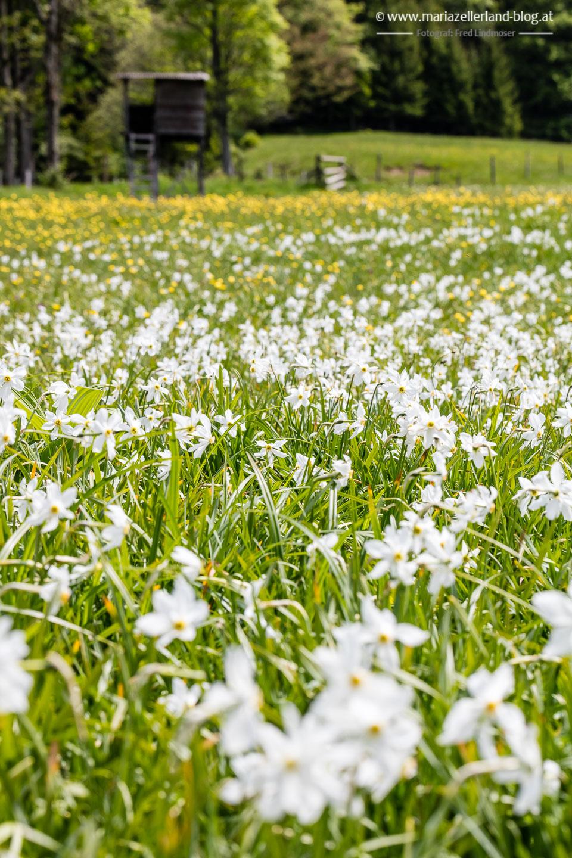 Narzissen Wise Blüte Mariazellerland-4496