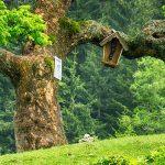 Bild der Woche: Alter Baum auf der Sohlenalm