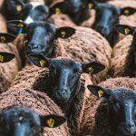 Bild der Woche: Neugierige Schafherde