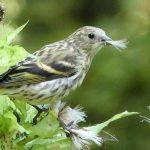 Bild der Woche: Vogel beim Distelrupfen