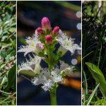 Seltene Blumen im Mariazellerland