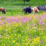 Bild der Woche: Blumenwiese in Greith