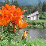 Feuerlilie mit 14 Blüten – Fotoserie