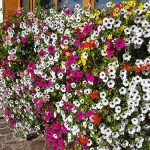Bild der Woche: Blumenpracht