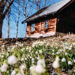 Frühlingsgruß aus Mariazell mit der Frühlingsknotenblume