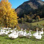 Bild der Woche: Gänse genießen den Herbst