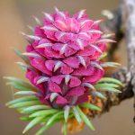 Bild der Woche: Weiblicher & männlicher Blütenstand der Lärche