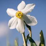 Narzissenblüte im Mariazellerland 2020