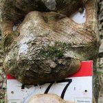 Bild der Woche: Baumgesicht