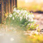 Schneeglöckchen und Frühlingsknotenblumen
