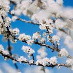 Bild der Woche: Schlehen Blüte