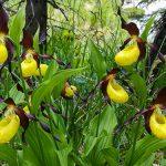 Bild der Woche: Gelber Frauenschuh